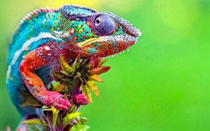 chameleon3